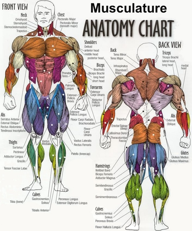 muscular system - body systems
